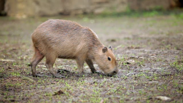 vídeos y material grabado en eventos de stock de a capybara grazes in a bare field - pastar