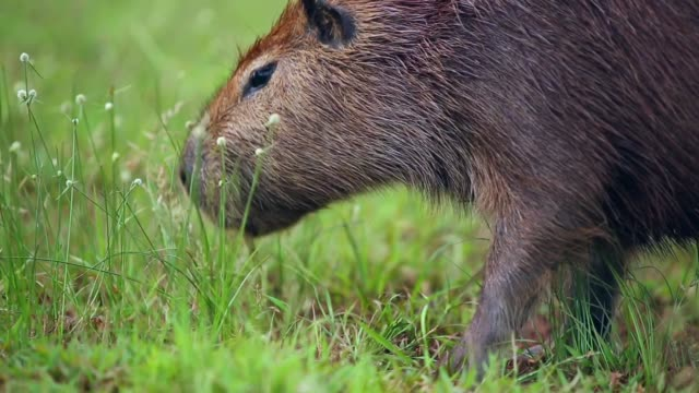 capybara grazing on fresh green grass - herbivorous stock videos & royalty-free footage