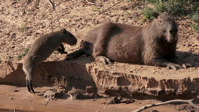 Capybara, Pantanal, Brazil