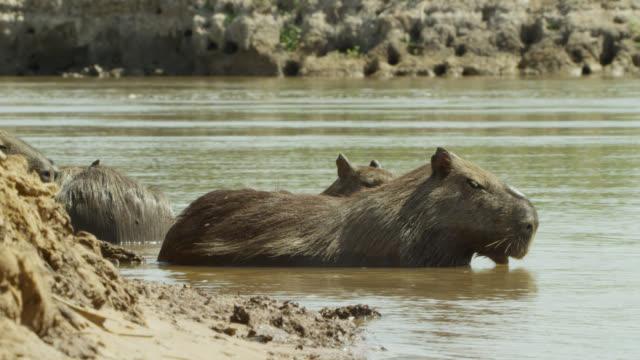 vídeos de stock e filmes b-roll de capybara (hydrochoerus hydrochaeris) stand in water at edge of river. - water's edge