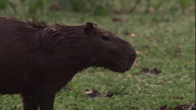 vídeos de stock, filmes e b-roll de a capybara wades through the shallow water of a vegetation-covered swamp. available in hd. - pântano