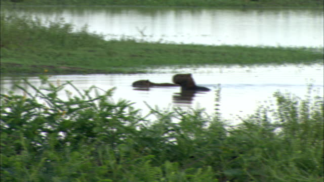 capybaras cool themselves in a wilderness pond. - walking in water stock videos & royalty-free footage