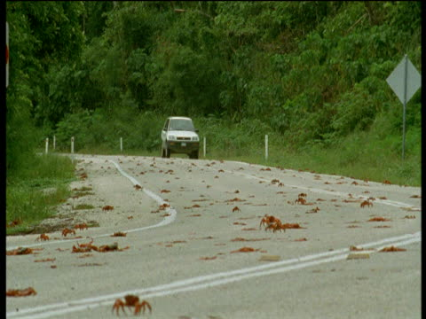 car attempts to avoid christmas island red crabs crossing road, christmas island - crab stock videos and b-roll footage