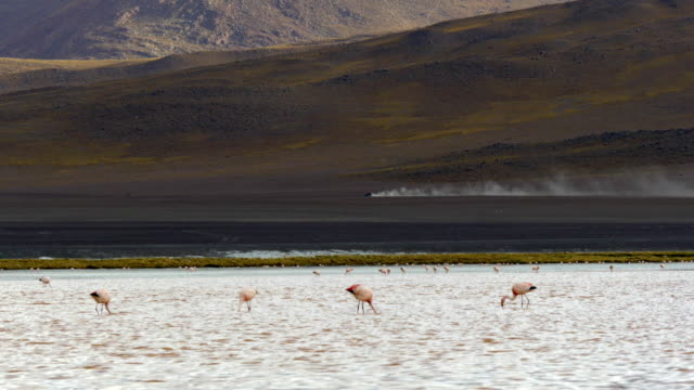 a car crossing the bolivian andes with some flamingos in the front - bolivian andes stock videos & royalty-free footage
