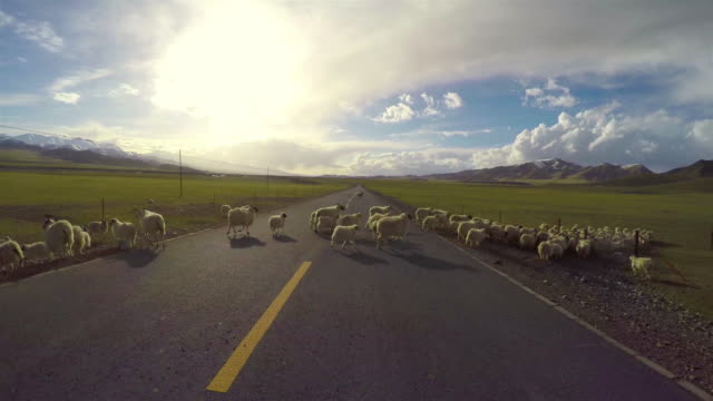 pov car driving on road of pastoral areas/qinghai,china. - sheep stock videos & royalty-free footage