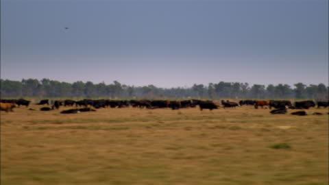 side pov car passing cows in field, sebring, florida, usa - nötkreatur bildbanksvideor och videomaterial från bakom kulisserna