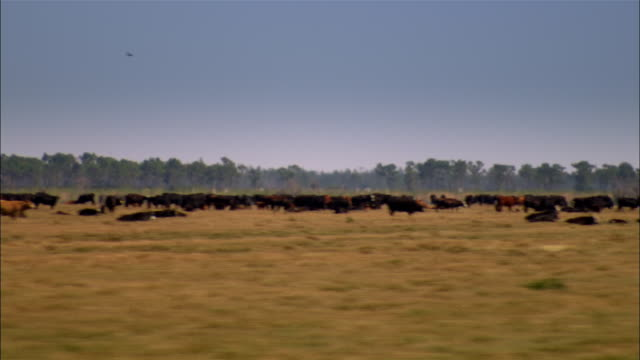 side pov car passing cows in field, sebring, florida, usa - cattle stock videos & royalty-free footage