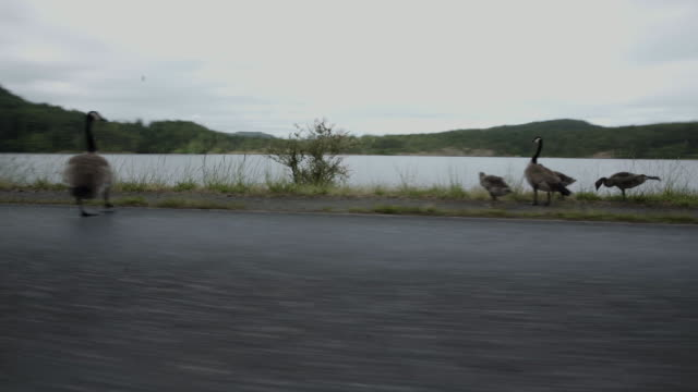 vidéos et rushes de pov car ride, family of ducks on road - organisme aquatique