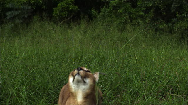 A caracal cat leaps from a grassy field.