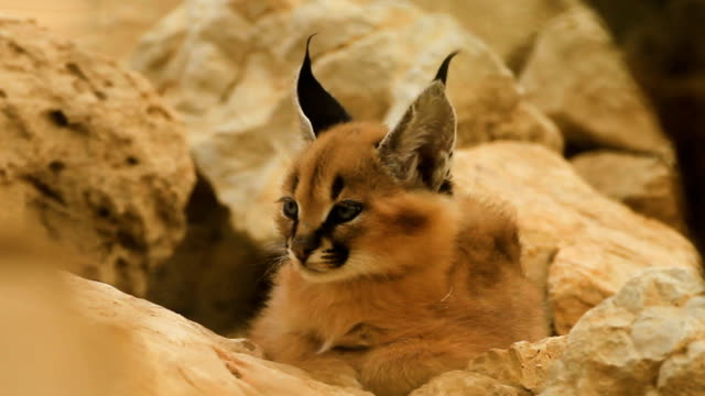 Caracal in the Negev desert, Israel
