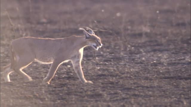 A caracal prowls along the barren, burnt savanna. Available in HD.