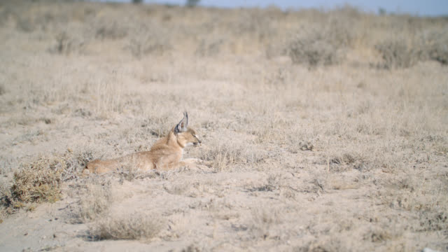 MS Caracal (Caracal caracal) resting in desert / Kgalagadi Transfrontier Park, Kgalagadi District, South Africa