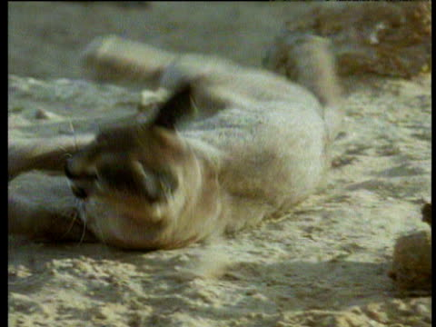 Caracal rolls over in desert sand and shakes sand off long ears with black tufts