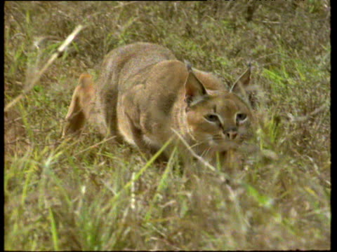Caracal stalks in long grass then bounds out of shot.