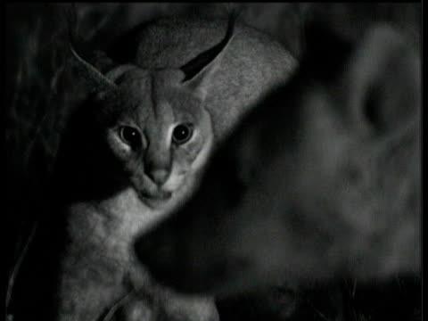 Caracal threatens and hisses at hyena on savanna