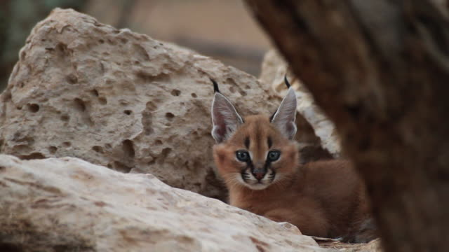 caracal  (Caracal caracal) young cub in his hide