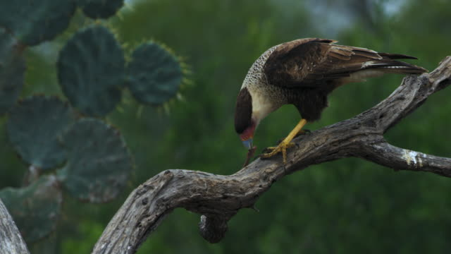caracara perching on branch - perching stock videos & royalty-free footage