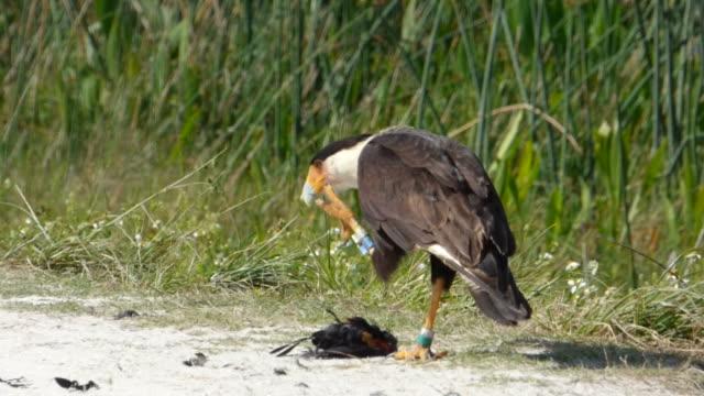 caracara mit dead blackbird - rotschulterstärling stock-videos und b-roll-filmmaterial