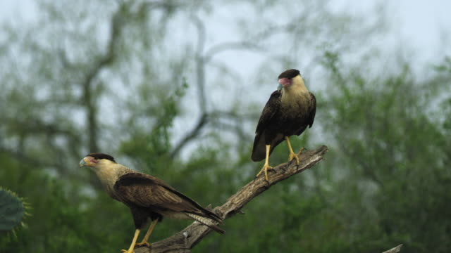 caracaras perching on branch and flying - 四匹点の映像素材/bロール