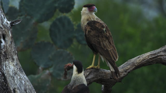 caracaras perching on tree - perching stock videos & royalty-free footage
