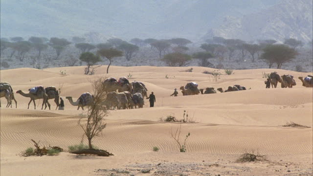 WS PAN Caravan of pack camels walking across desert