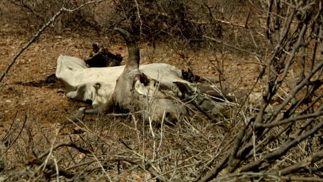 carcass in the savanna on july 30, 2011 in dadaab, kenya - dead animal stock videos & royalty-free footage
