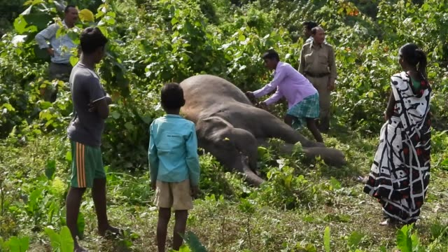 vidéos et rushes de carcass of a male elephant found near a paddy field at kondoli village in nagaon district of assamindia on nov 242019according to forest officials... - chapeau de paille