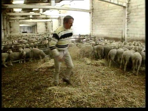 carcasses of sheep dropped from jcb tls sheep grazing in field int farm worker along thru sheep pen ext gv 'danger footandmouth disease infected... - bertie ahern stock videos and b-roll footage
