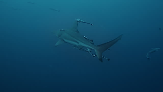 carcharhinus limbatus - remora fish stock videos & royalty-free footage