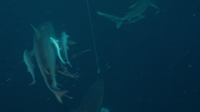vídeos de stock e filmes b-roll de carcharhinus limbatus - tubarão galha preta
