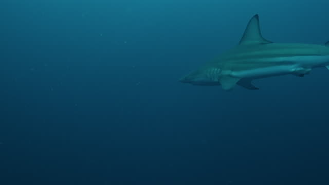 carcharhinus limbatus - blacktip shark stock videos & royalty-free footage