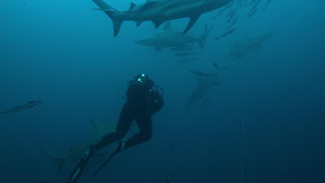 carcharhinus limbatus - aqualung diving equipment stock-videos und b-roll-filmmaterial