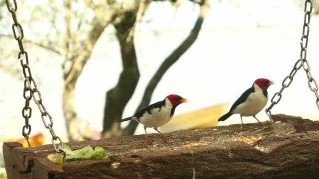 Cardenal Vögel Essen in einem Food-Platz für Vögel