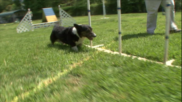 a cardigan welsh corgi runs through an obstacle course while its owner runs alongside. - hindernisparcours stock-videos und b-roll-filmmaterial