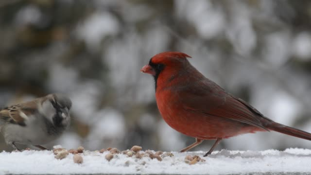 cardinal and sparrow eating in winter - peanut food stock videos & royalty-free footage