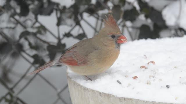 Cardinal eating during snowfall