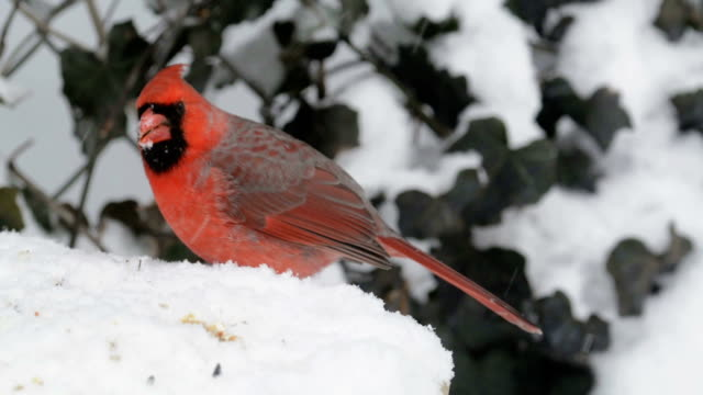 Cardinal eating in snow