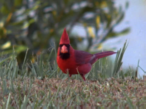 Cardinal eating on grass
