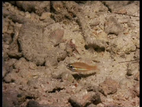 cu cardinal fish on sand, common lionfish eats cardinal fish, mabul, borneo, malaysia - pterois video stock e b–roll