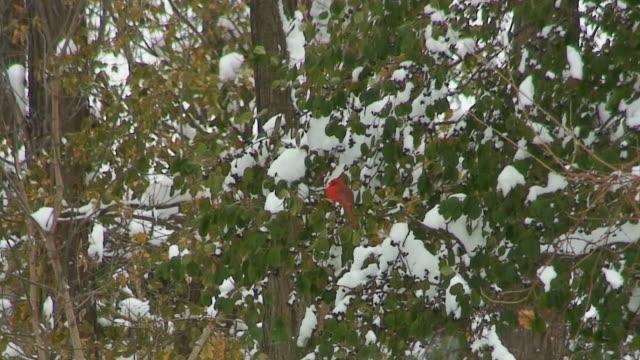 Cardinal auf Bush in den Schnee