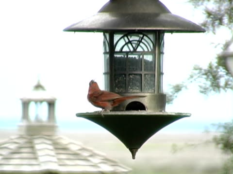 cardinal red bird - film feeder stock videos & royalty-free footage