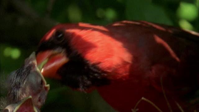 Cardinal Redbird feeds his baby birds