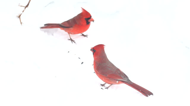 cardinals and sparrow pecking at seeds - songbird stock videos & royalty-free footage