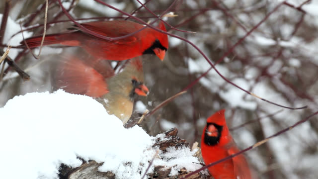 Cardinals and sparrow pecking for seeds