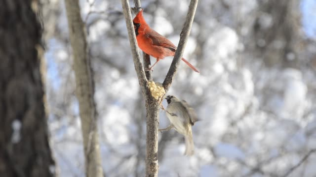 Cardinals and sparrows eating suet in a tree in the winter