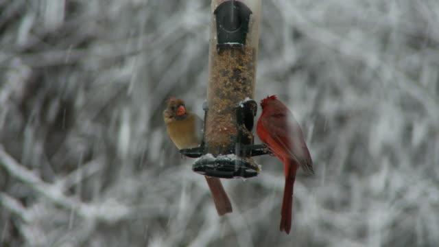 SLO MO CU Cardinals on bird feeder during snowing / Atlanta, Georgia, USA