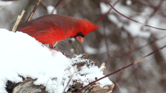 Cardinals searching for seeds