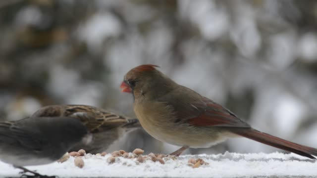 cardinals, sparrows, and a junco - becco video stock e b–roll