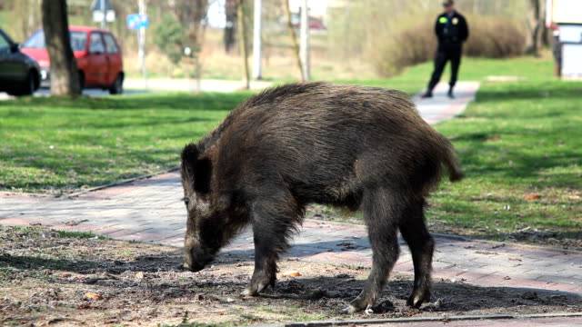 carefree wild boar in a town - animals in the wild stock videos & royalty-free footage