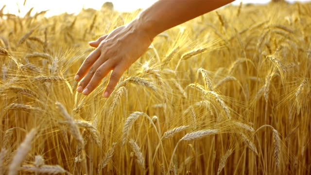caressing wheat crops - agricultural field stock videos & royalty-free footage